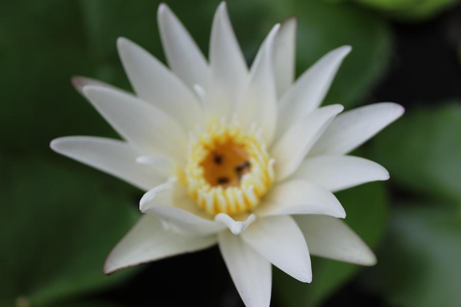 Garden Photograph - White Water Lotus  by Michael Kim
