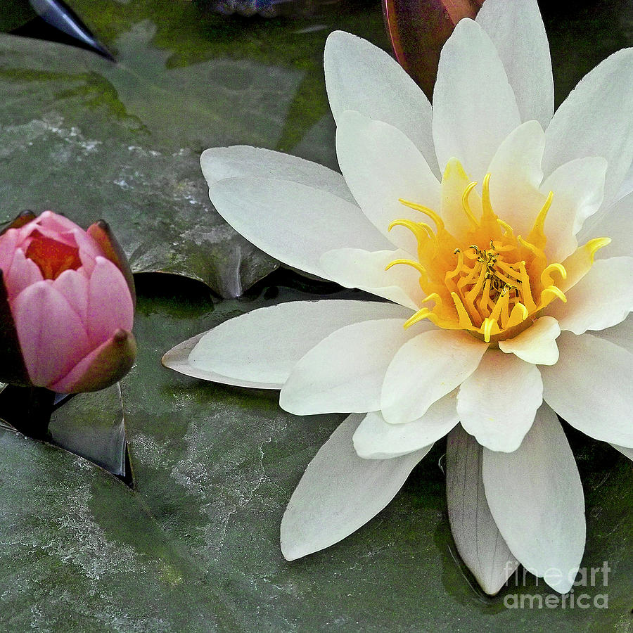 White Water Lily Nymphaea Photograph