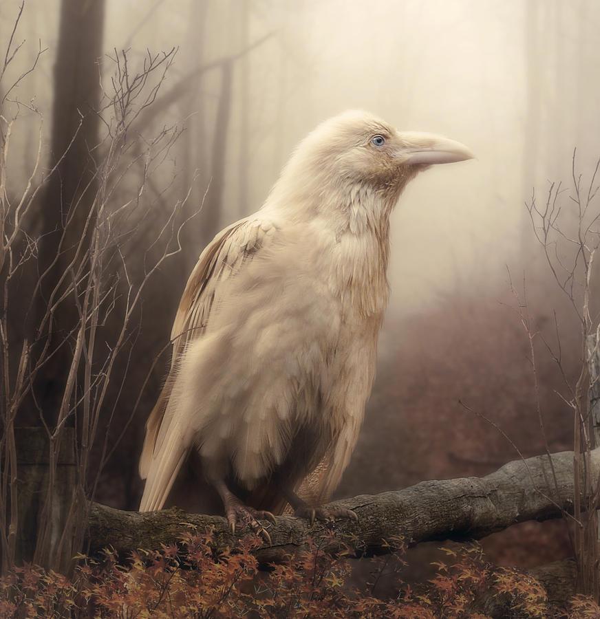 Bird Photograph - White Wild Raven by Cindy Grundsten