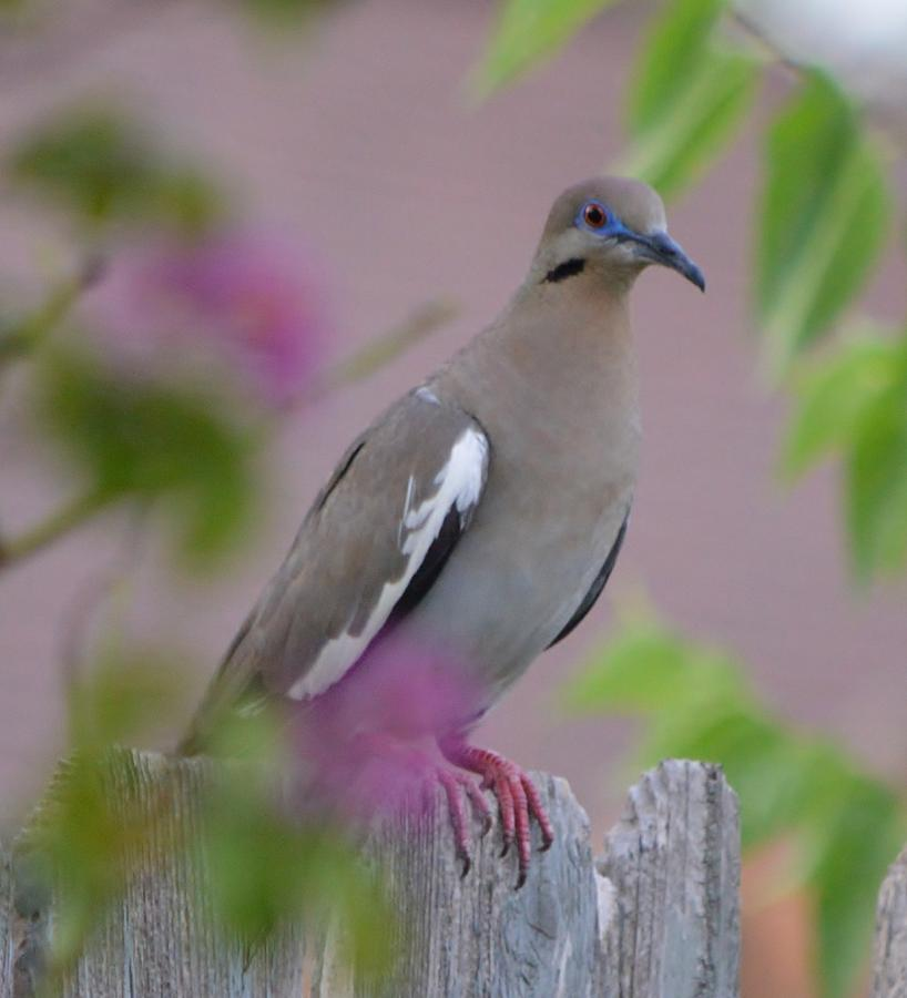 Dove Photograph - White Wing Dove by Stefon Marc Brown