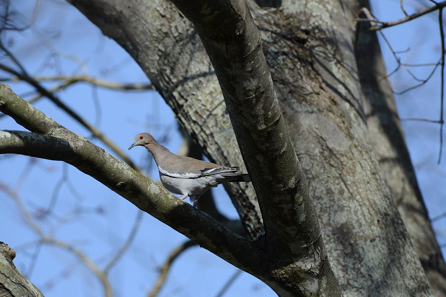 Bird Photograph - White-winged Dove by Keith Gondron