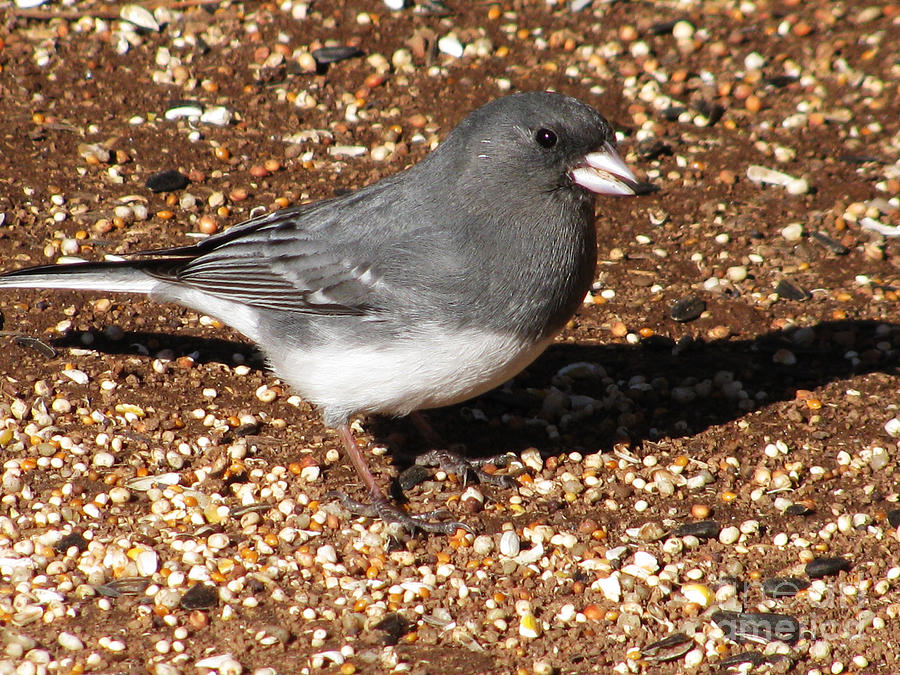 Bird Photograph - White-winged Junco by Steven Parker