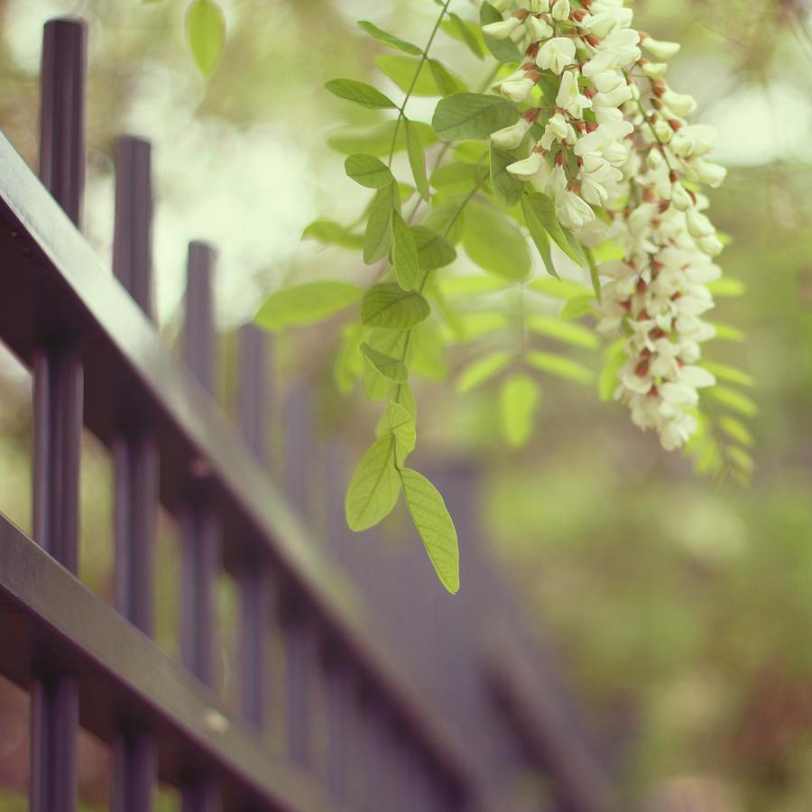 White Wisteria Flowers Near Fence Photograph by Copyright Anna Nemoy(xaomena)