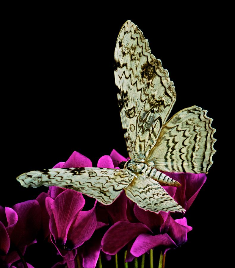 White Witch Moth Photograph - White Witch Moth Resting At Midnight  by Leslie Crotty