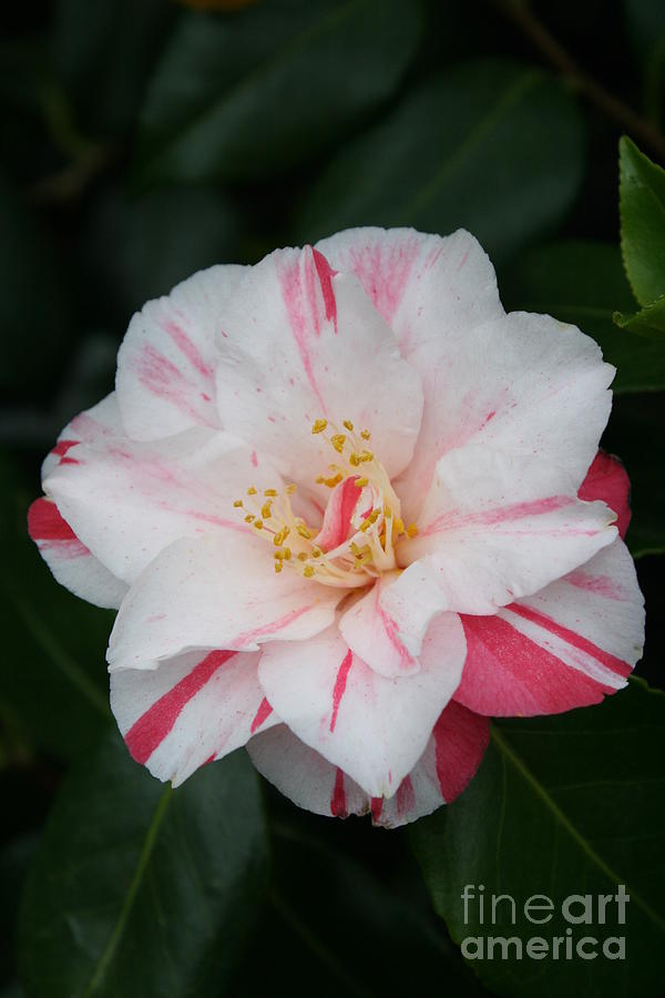 White With Pink Camellia Photograph By Christiane Schulze Art And