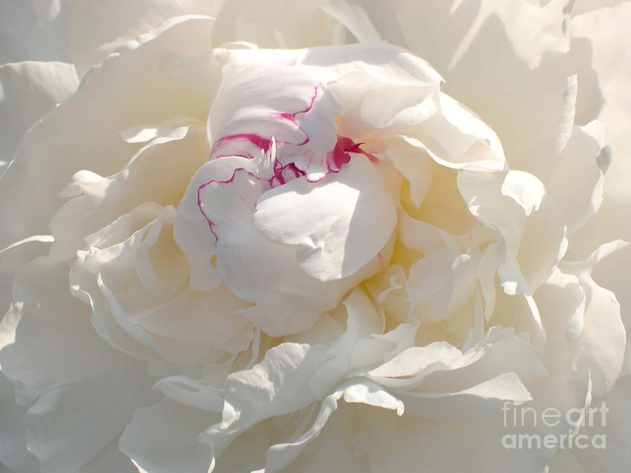 Peony Photograph - White With Red Peony by Addie Hocynec