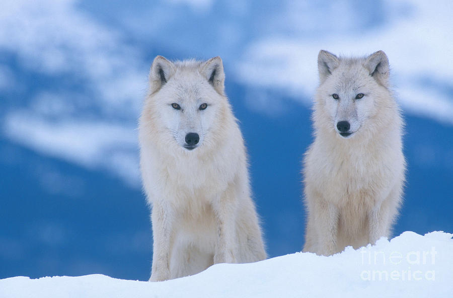 Animal Photograph - White Wolf Pair In Winter by Alan and Sandy Carey