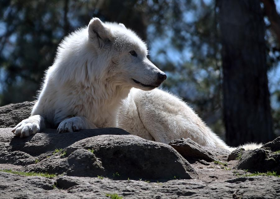 Canadian Photograph - White wolf by Patrick Pestre