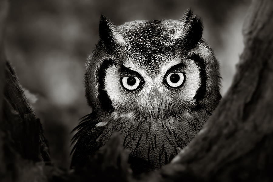 Africa Photograph - Whitefaced Owl by Johan Swanepoel