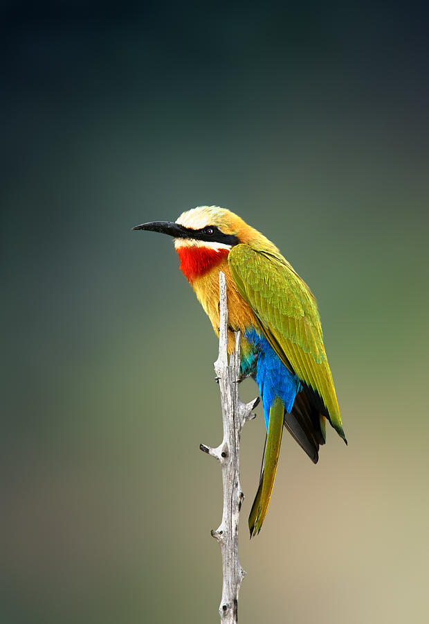Bee-eater Photograph - Whitefronted Bee-eater by Johan Swanepoel