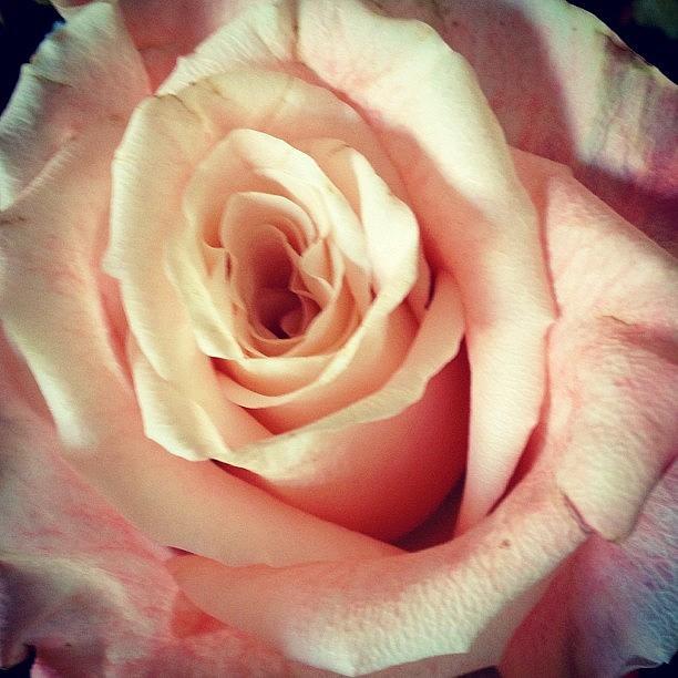 Beautiful Photograph - #whiterose #rose #flower #bloom #pretty by Amber Campanaro
