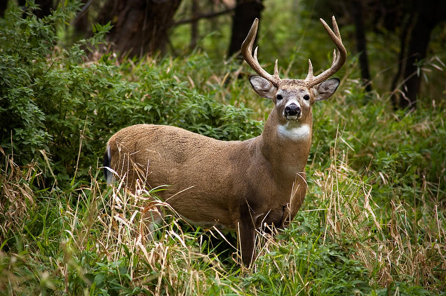 Whitetail Buck Photograph by Nater23