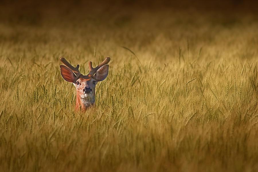 Deer Photograph - Whitetail Deer In Wheat Field by Tom Mc Nemar