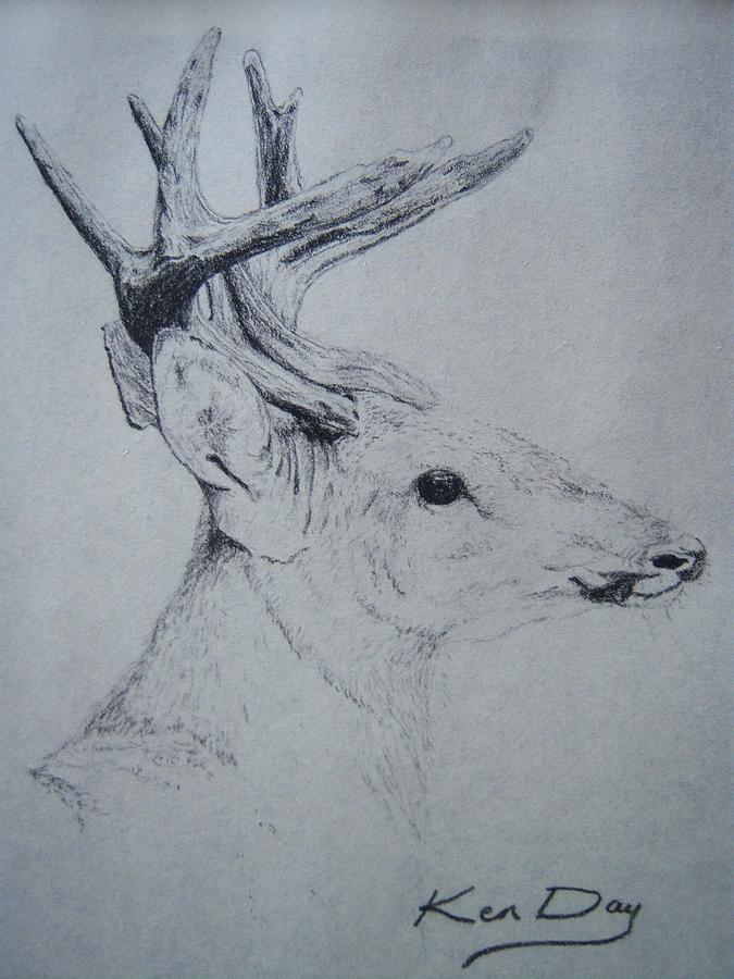 Deer Drawing - Whitetail by Ken Day