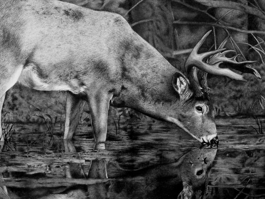 Whitetail Reflection Drawing By Nina Lukaszewicz