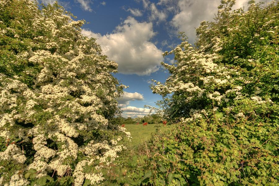 Cattle Photograph - Whitethorn Hedge by John Quinn