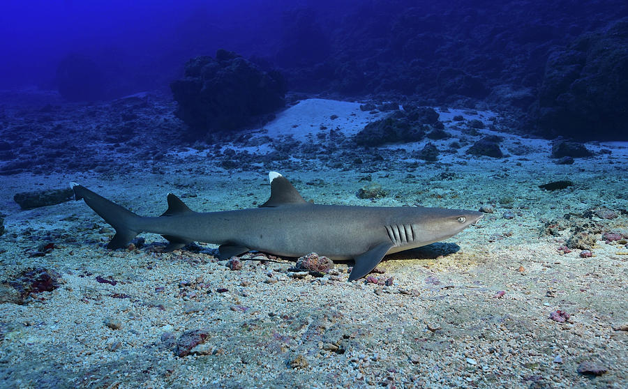 Whitetip Reef Shark On The Ocean Floor Photograph By Andreas