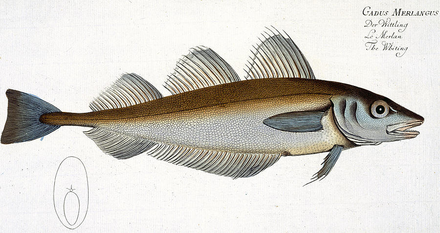 Fish Painting - Whiting by Andreas Ludwig Kruger