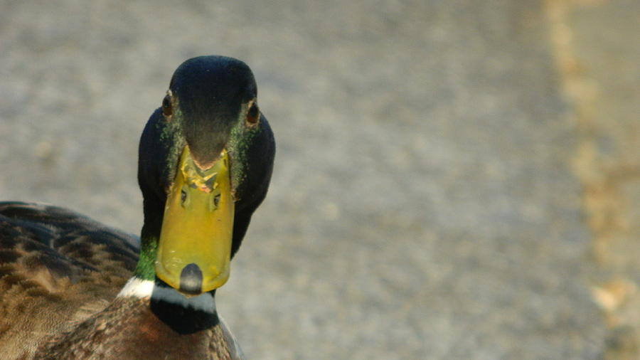 Duck Photograph - Who Are You Lookin At? by David  Ortiz