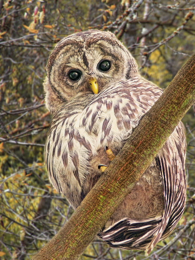 Owl Photograph - Who Who Are You Barred Owlet by Jennie Marie Schell