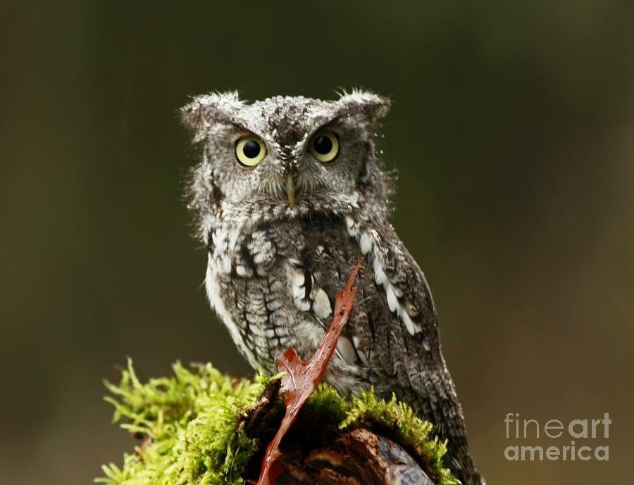 Bird Photograph - Whooo Goes There... Eastern Screech Owl  by Inspired Nature Photography Fine Art Photography