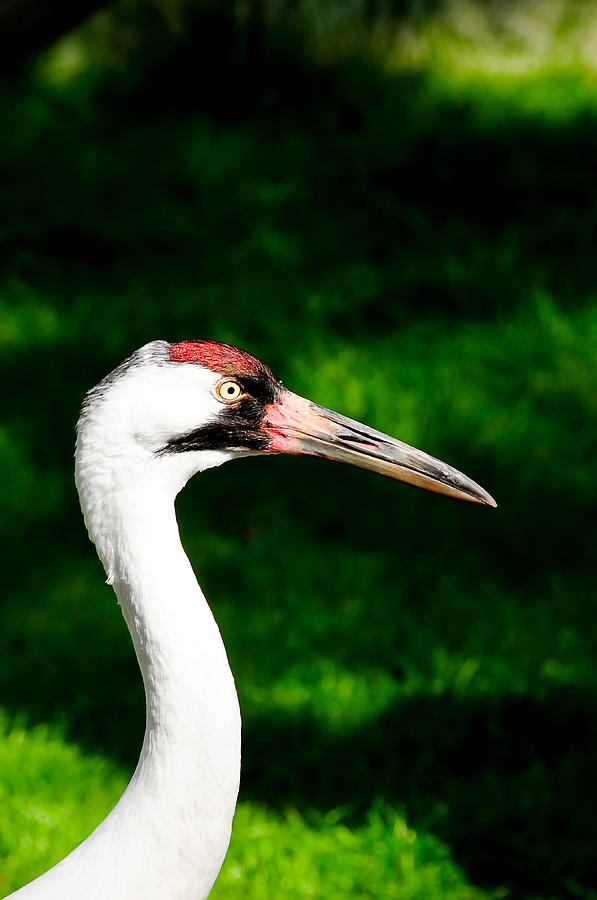 Florida Photograph - Whooping Crane by Don and Bonnie Fink