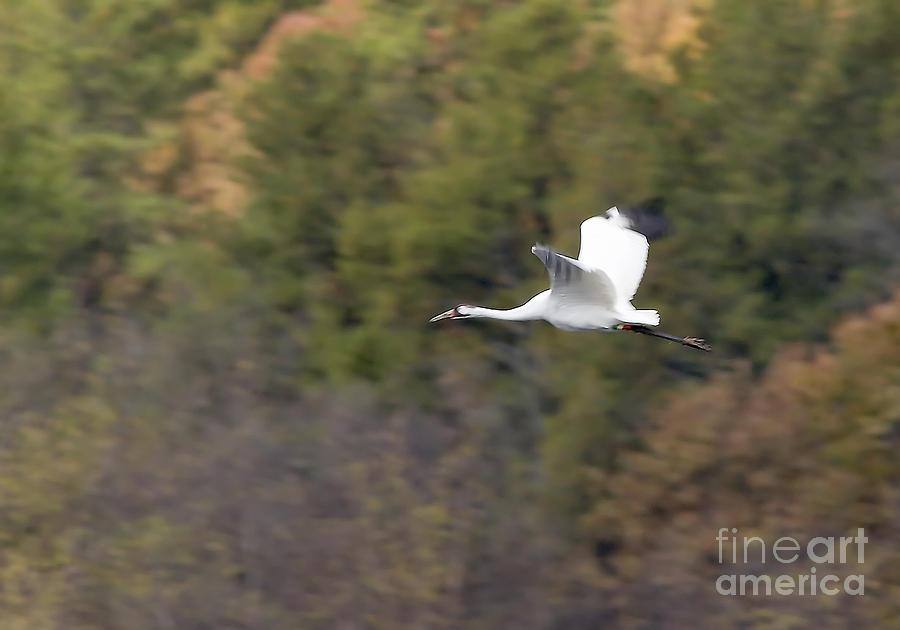 Birds Photograph - Whooping Crane by Steven Ralser