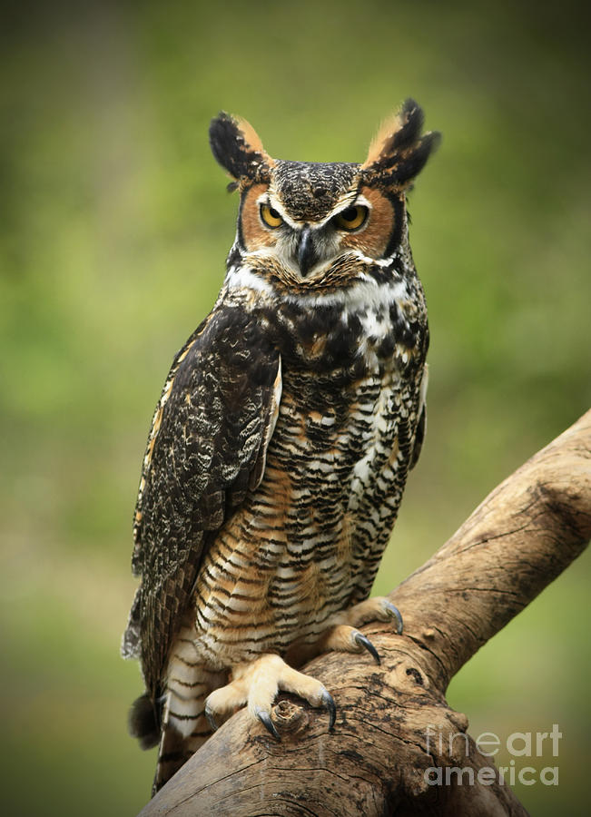 Watching Photograph - Whoos Watching Me Great Horned Owl In The Forest  by Inspired Nature Photography Fine Art Photography