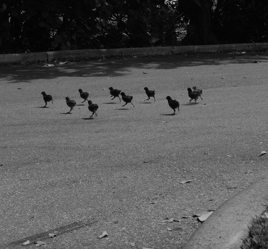 Chicken Photograph - Why Did The Chicken Cross The Road by Susan Sidorski