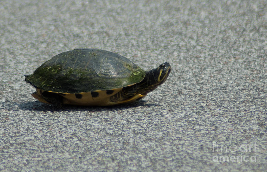 Why Did The Turtle Cross The Road Photograph