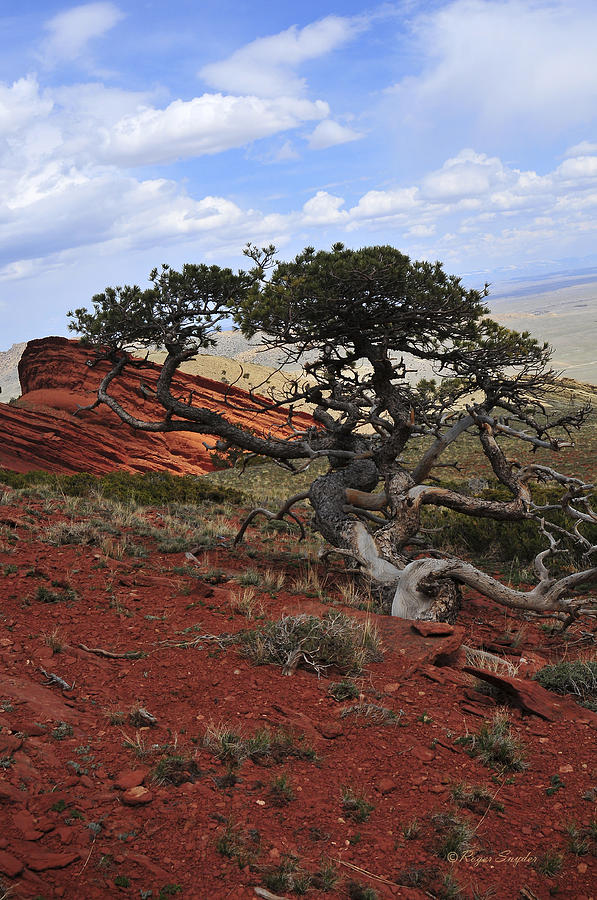 Beautiful Photograph - Wicked Tree And Red Rocks by Roger Snyder