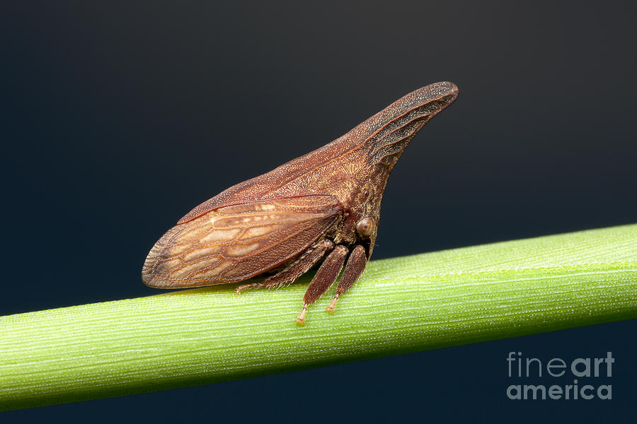 America Photograph - Widefooted Treehopper II by Clarence Holmes