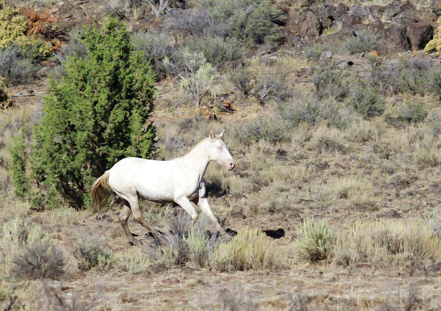Wild Albino Horse Photograph by Steve McKinzie