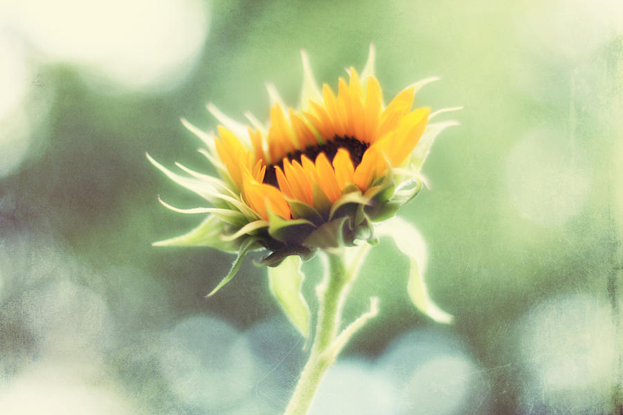 Sunflower Photograph - Wild And Free by Amy Tyler