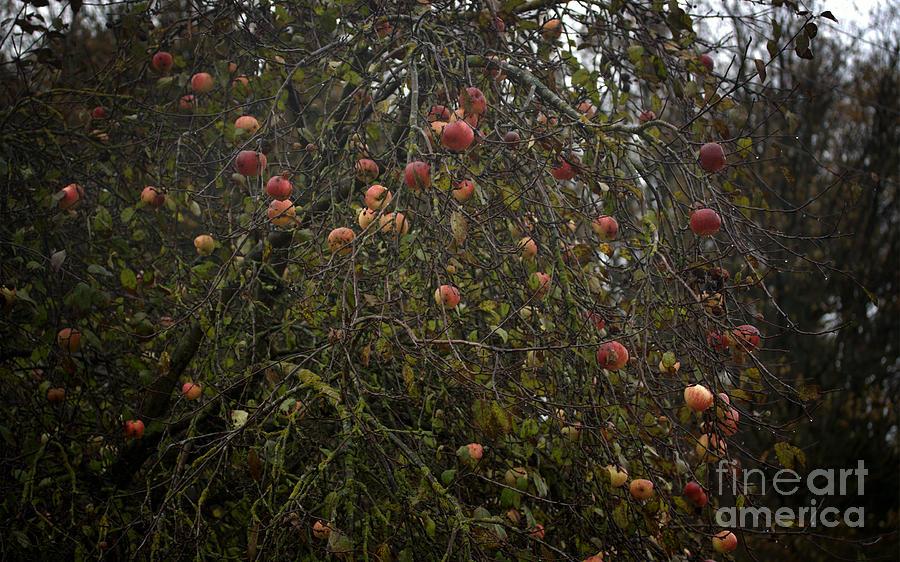 Apple Photograph - Wild Apple Tree by Jolanta Meskauskiene