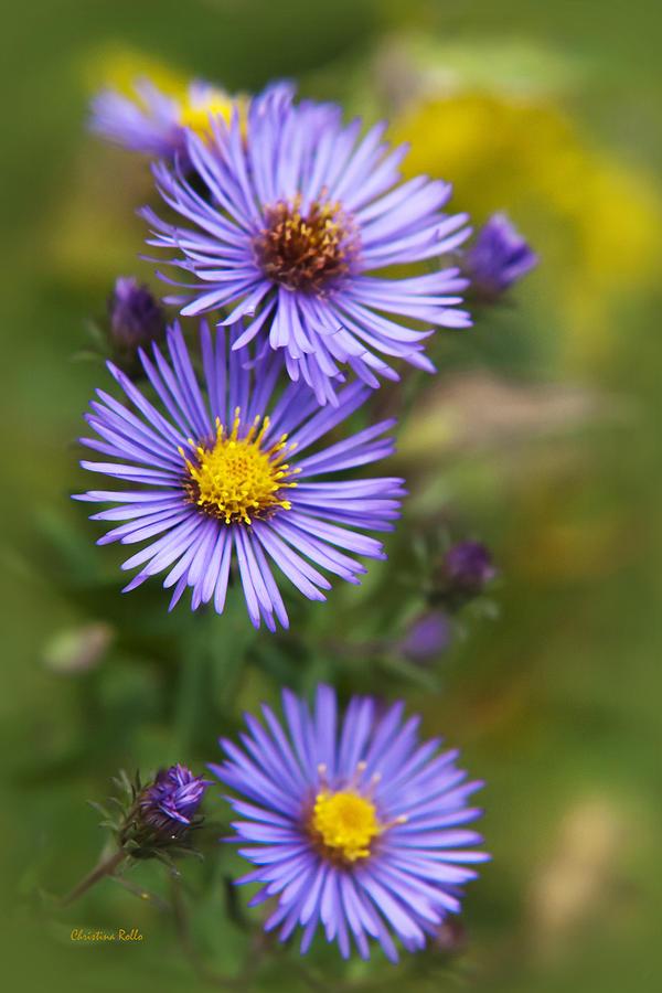 Wildflower Photograph - Wild Aster Trio by Christina Rollo