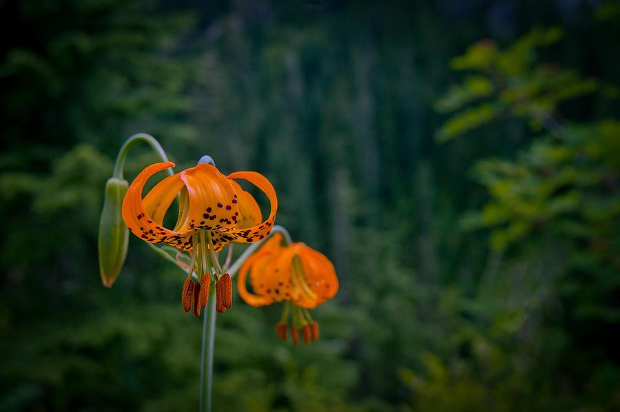 Mt Rainier Photograph - Wild at Heart by Jen Baptist