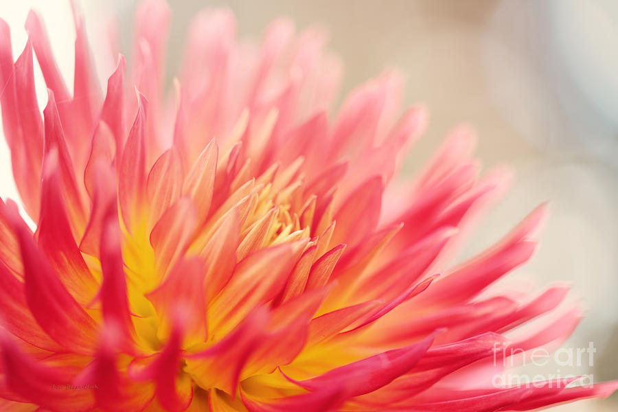 Dahlia Photograph - Wild At Heart by Beve Brown-Clark Photography