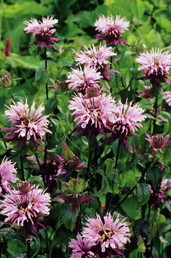 Wild Bergamot Flowers Photograph by Duncan Smith/science ...
