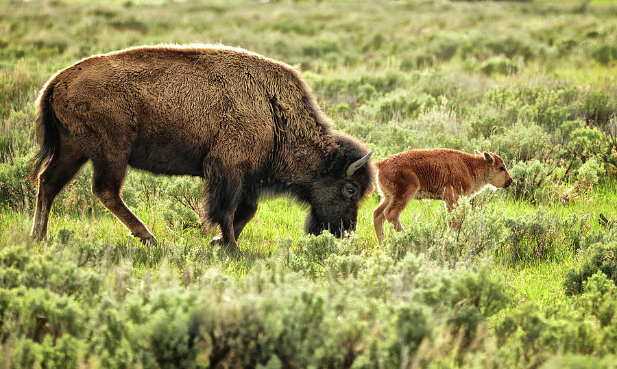 Wild Bison Cow And Calf Photograph by Jeff R Clow
