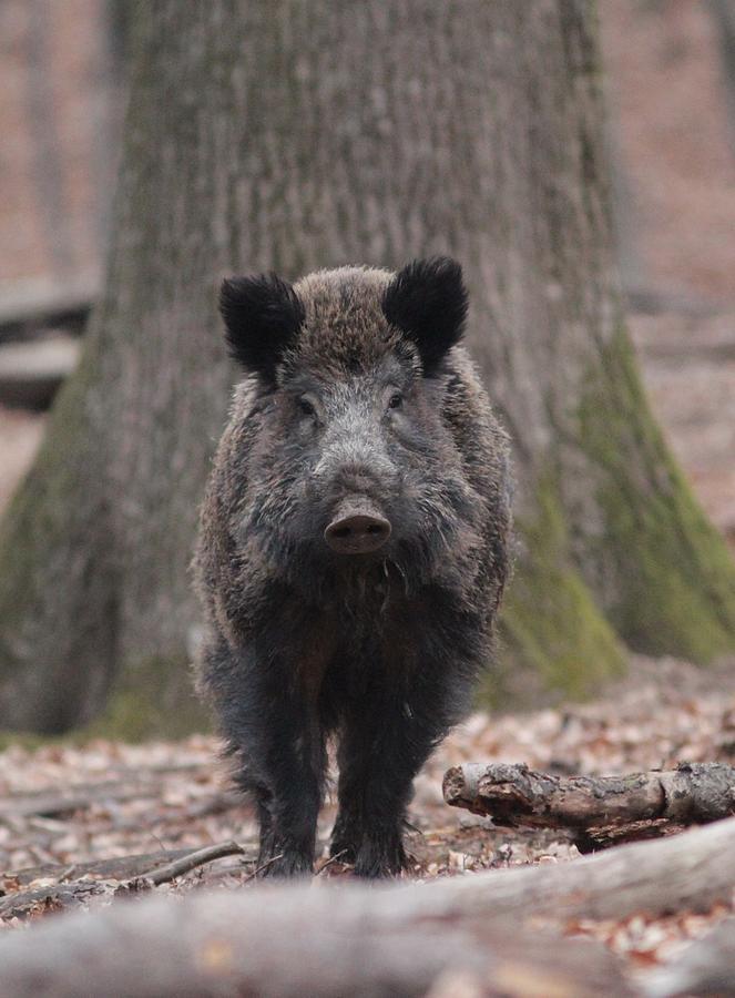 European Wild Boar Photograph - Wild Boar by Dragomir Felix-bogdan