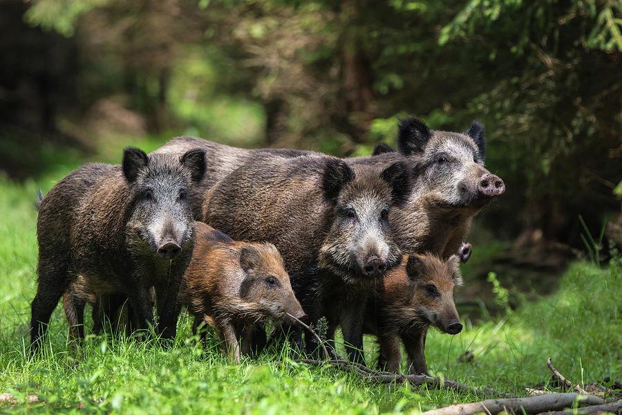 Wildlife Photograph - Wild Boar Family by Stefan V??lkel