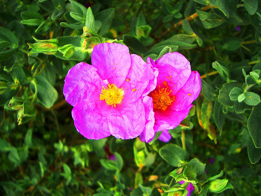 Wild Catalonian rose by Jim Barbour