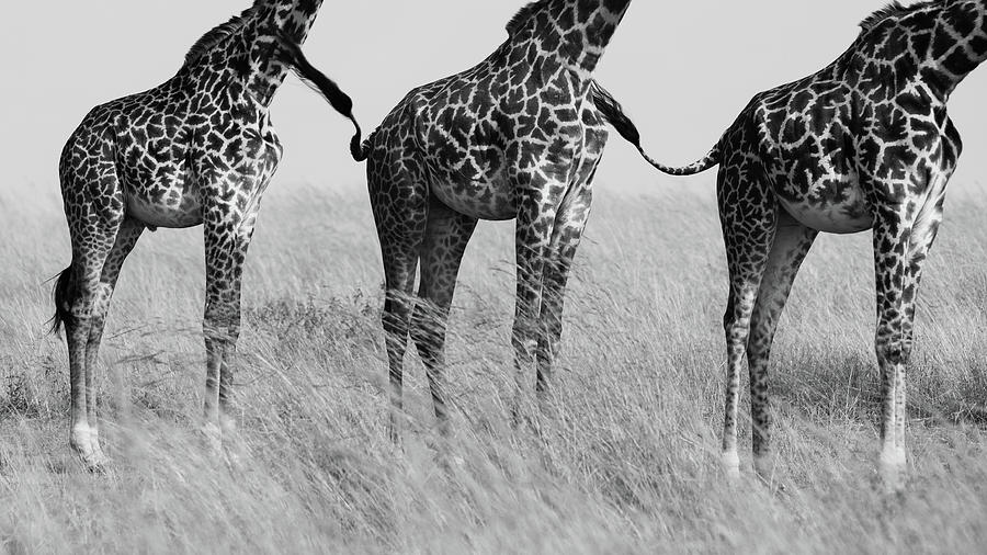 Giraffe Photograph - Wild Connection by Mohammed Alnaser