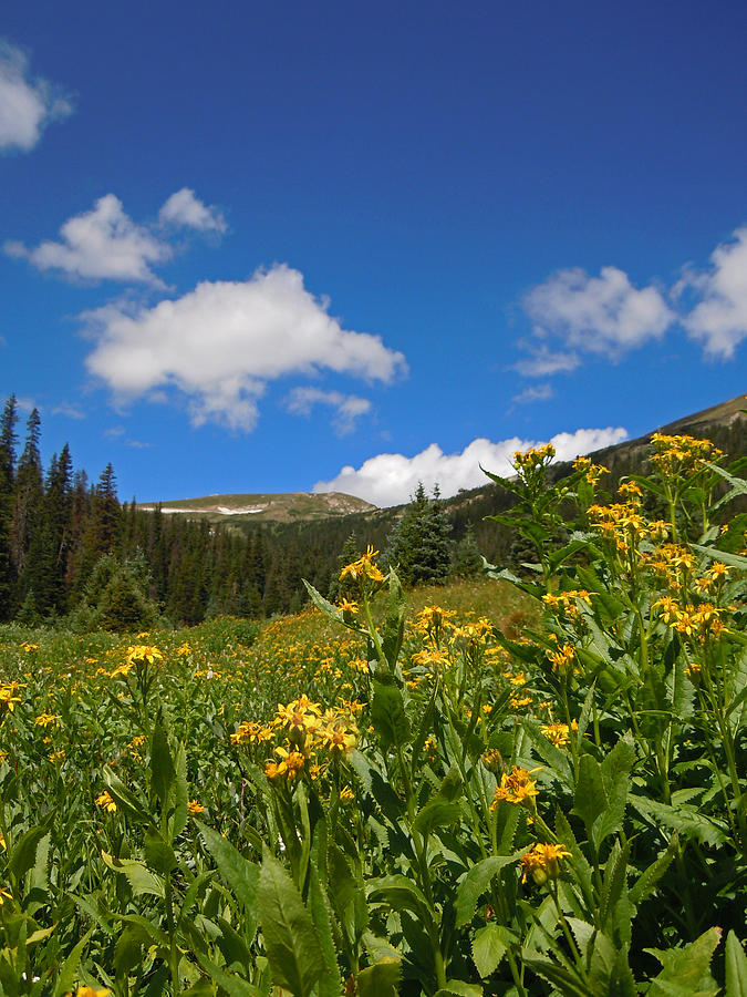 Wild Flowers In Rocky Mountain National Park Photograph