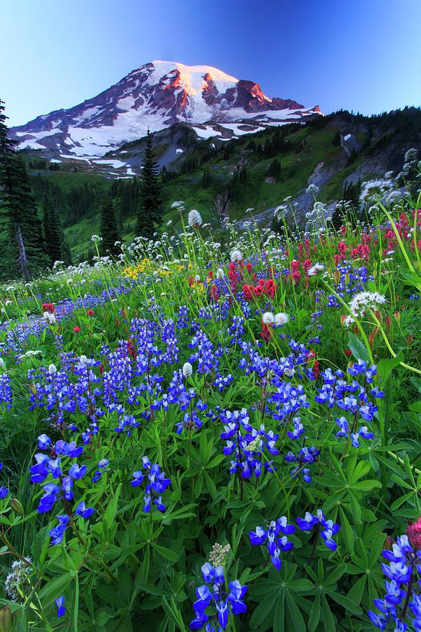 Wild Flowers In The Rainier National Photograph by Gavriel Jecan