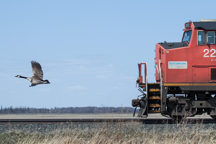 Goose Photograph - Train Chasing Canada Goose by Steve Boyko