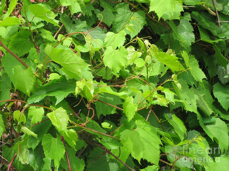 Wild Grapevine Photograph