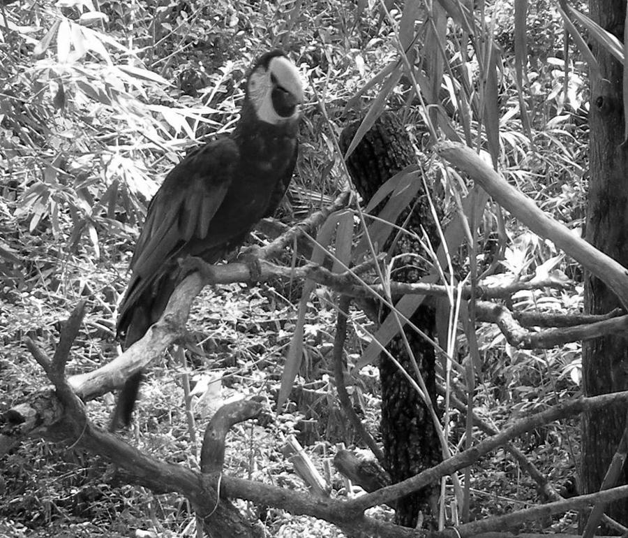 Wild Photograph - Wild Hawaiian Parrot Black And White by Joseph Baril