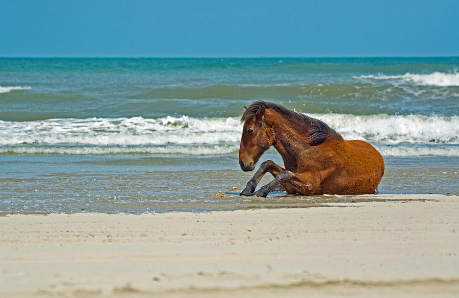 Wild horse on the beach photograph by paul weiss wildlife photograph wild horse on the beach by paul weiss publicscrutiny Gallery